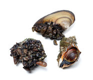 Veined rapa whelk and river mussels (anodonta) Royalty Free Stock Images