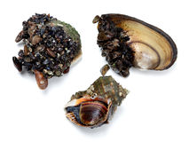 Veined rapa whelk and river mussels (anodonta) Stock Photo