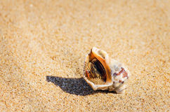 Veined Rapa Whelk Stock Images