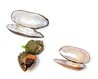 Veined rapa whelk and shells of mussels Royalty Free Stock Images