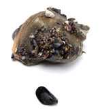 Veined rapa whelk and small mussel from Black Sea Stock Image