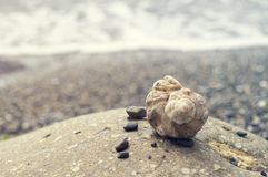 Veined rapa whelks, или venosa Rapana, на утесах Стоковые Изображения RF