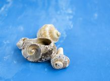 Veined rapa whelks, or Rapana venosa, on blue background. Veined rapa whelks, or Rapana venosa, on bright blue background. Closeup Royalty Free Stock Photo