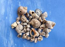 Veined rapa whelks, or Rapana venosa, on bright blue background. Closeup Stock Image