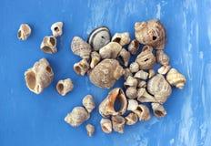 Veined rapa whelks, or Rapana venosa, on bright blue background. Closeup Stock Photo