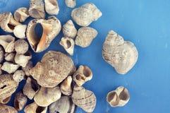 Veined rapa whelks, or Rapana venosa, on bright blue background. Closeup Royalty Free Stock Photography