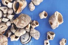Veined rapa whelks, or Rapana venosa, on bright blue background. Closeup Royalty Free Stock Photos