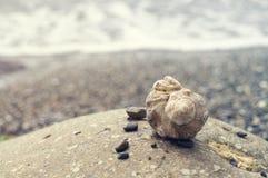 Veined rapa whelks, or Rapana venosa, on rocks. Closeup Royalty Free Stock Images