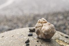 Veined rapa whelks, or Rapana venosa, on rocks. Closeup Stock Photo