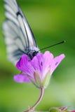 veined svart tagg för fjärilspelargonäng Arkivbilder