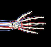Veines d'artères d'os de main Photos stock