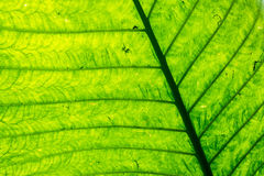 Veins and Abstract Green Leaf Stock Image