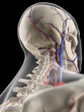 The veins and arteries of the head. Medically accurate illustration of the veins and arteries of the head Stock Photo