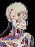 The veins and arteries of the head. Medically accurate illustration of the veins and arteries of the head Stock Image