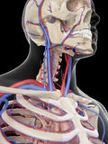 The veins and arteries of the head. Medically accurate illustration of the veins and arteries of the head Stock Photos