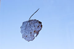 Veins of dry leaf of birch. On a background of blue sky Royalty Free Stock Photo