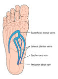 Veins of the foot Stock Image