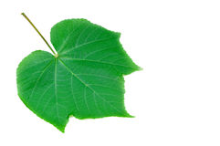 Veins of green leaf. Green leaf with veins isolated on white background Royalty Free Stock Image