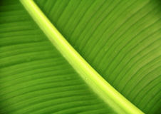 Veins on green leaf Royalty Free Stock Photos