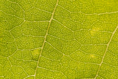Veins on green leaf Royalty Free Stock Images