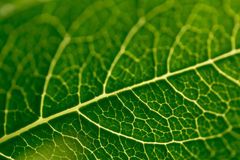 Veins of a green leaf from a rose plant. A macro shot showing the veins of a rose leaf stock photos