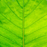 Veins of green leaf Stock Photography