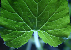 Veins in leaf. Focussed on top of leaf (where vine connects) vine is illuminated so it seems like it's glowing stock image