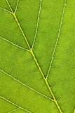 Veins of a leaf Stock Photography