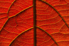 Veins of a leaf. A single leaf turned crimson orange by the seasons, Autumn. Veins are clearly shown royalty free stock photography