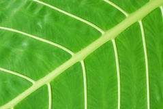 Veins of a leaf Stock Image