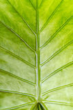Veins of a leaf Royalty Free Stock Images