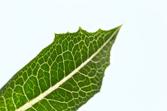 Veins of the leaf of a plant Royalty Free Stock Images