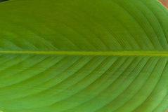 The veins of  water canna leaf. Close up Royalty Free Stock Photos