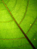 Veiny green leaf macro. Macro photo of a green leaf Stock Photos