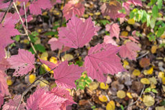 Veiny Pink Leaves Royalty Free Stock Photography