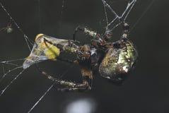 Veio longitudinalmente uma aranha Foto de Stock Royalty Free