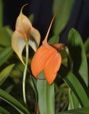 Veitch's Masdevallia Orchid Stock Images
