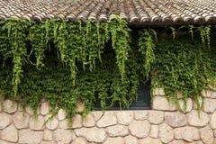 Veitchii de Parthenocissus ou plante grimpante de Virginie Image libre de droits