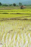 Veiw av risfältet Thailand Fotografering för Bildbyråer