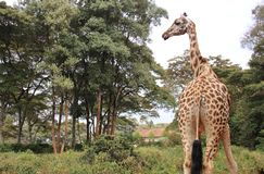 Veiw behind Rothschild giraffe. View behind of Rothschild giraffe in Giraffe center in Nairobi Kenya East Africa Royalty Free Stock Images