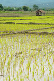 Veiw de gisement Thaïlande de riz Image stock