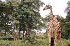 Veiw derrière la girafe de Rothschild Images libres de droits