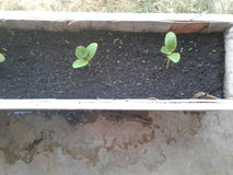 Veiw di Areial della pianta della zucca Immagini Stock Libere da Diritti