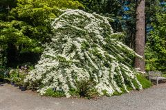 Large Plant With White Flowers. A veiw of a large plant with white flowers. Photo taken in Federal Way, Washington Stock Photo