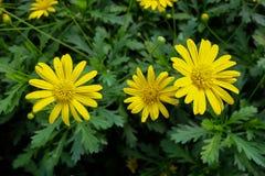 Veja fechado acima das flores selvagens de uma margarida amarela com o verde Imagem de Stock
