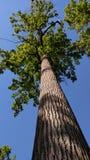 Veja para cima das folhas e do tronco verdes da árvore alta com um fundo do céu azul fotografia de stock royalty free