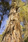 Veja a vista acima do tronco de umas coníferas Foto de Stock