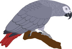 Vektor-Afrikaner Grey Parrot Lizenzfreies Stockfoto