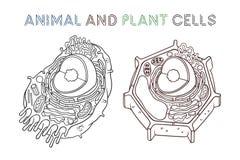 Vektor, der Illustrationen skizziert Schematische Struktur von Tier und Pflanze-Zellen stock abbildung