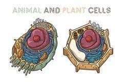 Vektor, der Illustrationen skizziert Schematische Struktur von Tier und Pflanze-Zellen lizenzfreie abbildung